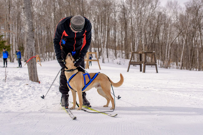 What is Skijoring