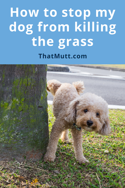 Prevent pet urine from killing grass