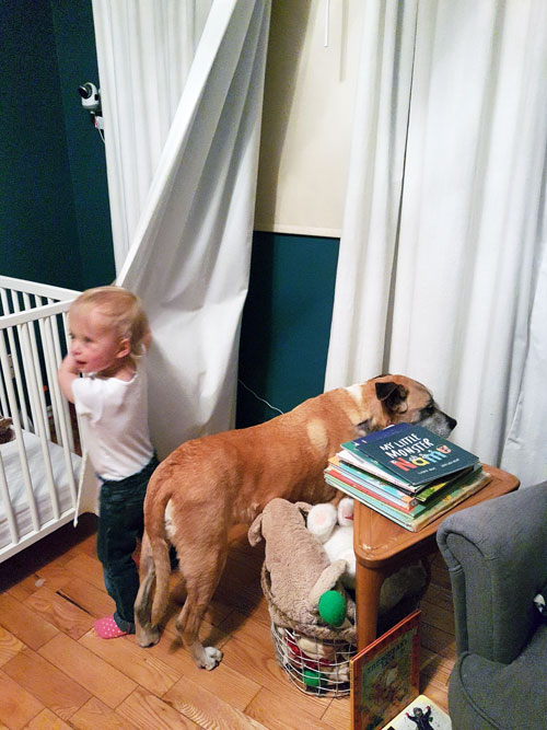 Dog and toddler playing in curtains