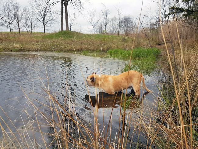 Dog wading into a pond