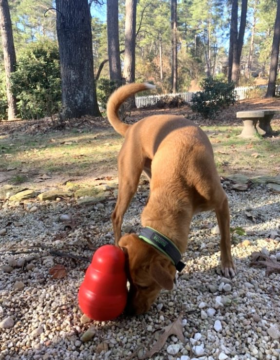 Wally with the Kong Wobbler