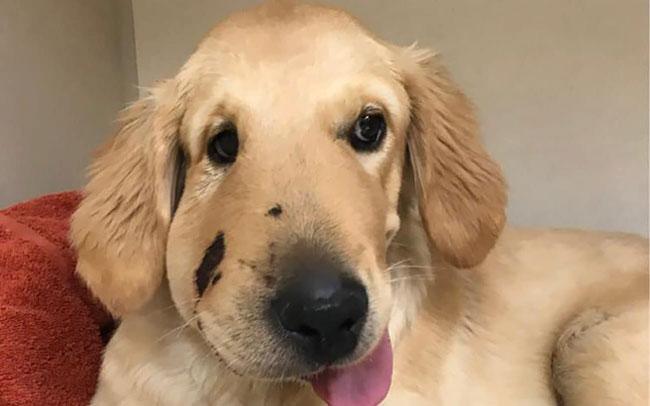 A dog after a rattlesnake bite
