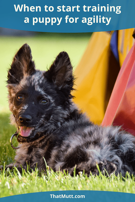 When to train a puppy for agility