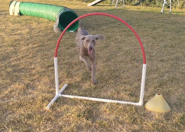 Hoops are safe to introduce to puppies in agility