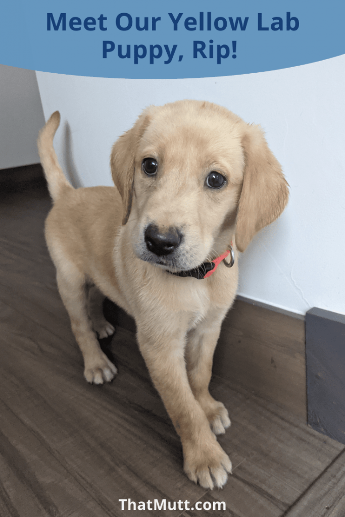 Yellow Lab puppy, Rip