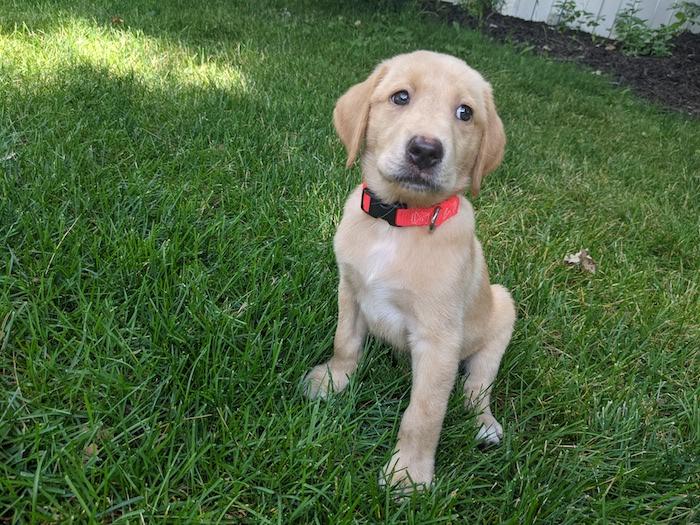 Yellow Lab puppy Rip
