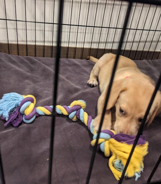 Kennel training Lab puppy, Rip