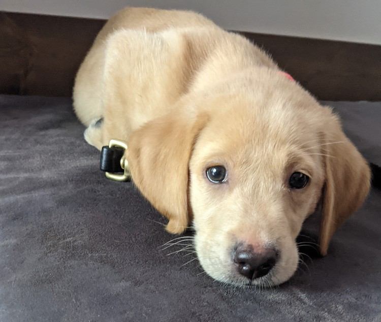 Lab puppy's first night home