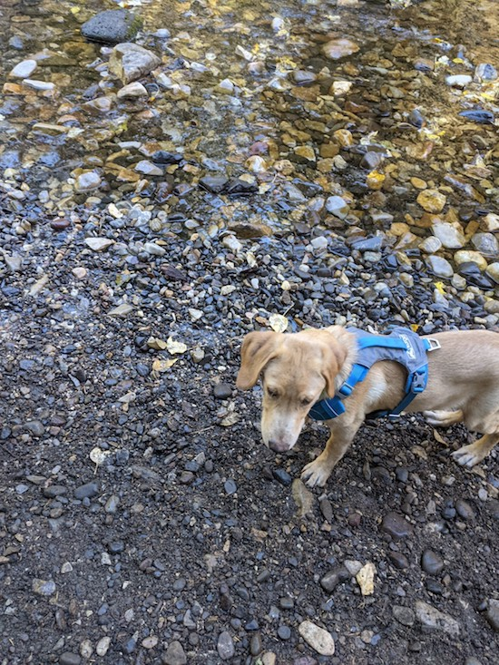 Hikes with 5 month old Lab puppy
